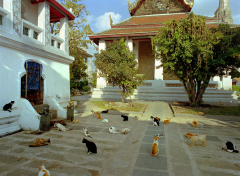 29Temple Cats