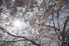 Cherry Blossoms 12