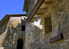 Dove of Assisi